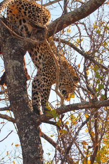Free Leopard In A Tree Royalty Free Stock Images - 5568659