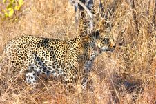 Free Leopard In The Sabi Sands Royalty Free Stock Images - 5568769