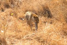 Free Leopard In The Sabi Sands Stock Photo - 5568820