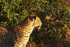 Free Leopard In The Sabi Sands Royalty Free Stock Photos - 5568838