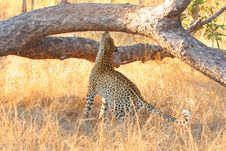 Free Leopard In A Tree Stock Images - 5568914