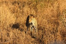 Free Leopard In The Sabi Sands Stock Image - 5568991