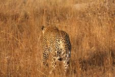 Free Leopard In The Sabi Sands Royalty Free Stock Photography - 5569107