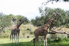 Free Pair Of Giraffe Stock Photos - 5569143