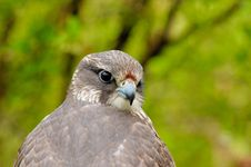 Free Saker Falcon Royalty Free Stock Images - 5569209
