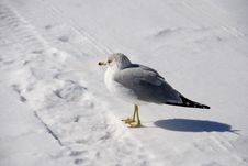 Free Gull On Cold White Snow Royalty Free Stock Photo - 5569235