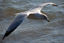 Gull On Wing Above An Ocean Royalty Free Stock Images