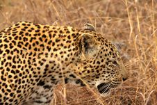 Free Leopard In The Sabi Sands Royalty Free Stock Photos - 5569258