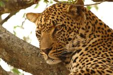 Leopard In A Tree Stock Images