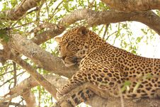 Free Leopard In A Tree Royalty Free Stock Images - 5569369