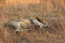 Free Lion In Sabi Sands Royalty Free Stock Image - 5569396