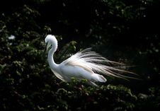 Free Egret Royalty Free Stock Image - 5569406