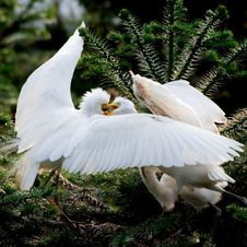 Free Egret Royalty Free Stock Image - 5569446