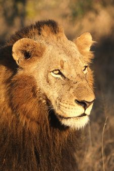 Free Lion In Sabi Sands Stock Photo - 5569450