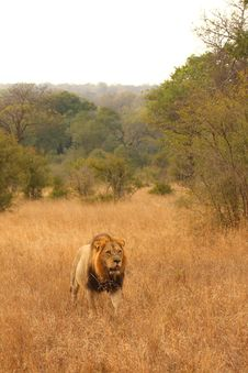 Free Lion In Sabi Sands Stock Images - 5569504