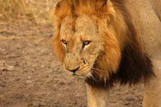 Free Lion In Sabi Sands Royalty Free Stock Image - 5569546