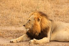 Free Lion In Sabi Sands Royalty Free Stock Photography - 5569547