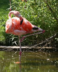 Free Flamingo Royalty Free Stock Photo - 5569555