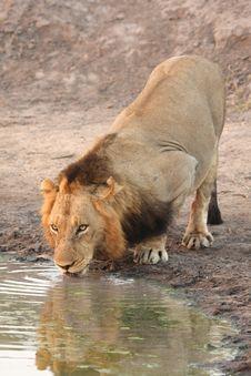 Free Lion In Sabi Sands Stock Photos - 5569573