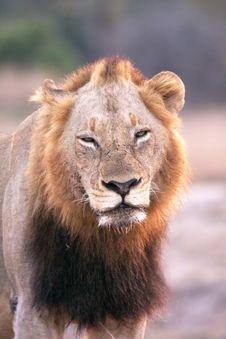 Free Lion In Sabi Sands Stock Image - 5569601