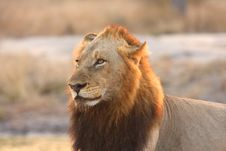 Free Lion In Sabi Sands Stock Photography - 5569632
