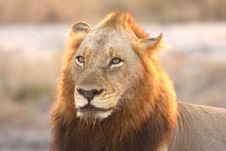 Free Lion In Sabi Sands Royalty Free Stock Image - 5569636