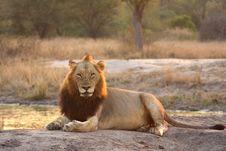 Free Lion In Sabi Sands Royalty Free Stock Image - 5569666