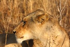 Free Lioness In Sabi Sands Royalty Free Stock Images - 5569699