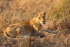 Free Lioness In Sabi Sands Royalty Free Stock Images - 5569719