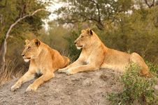 Free Lioness In Sabi Sands Royalty Free Stock Photos - 5569768