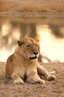 Free Lioness In Sabi Sands Stock Images - 5569774