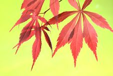 Free Maple Leaves Royalty Free Stock Photography - 5569797