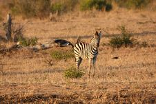 Free Zebra In Sabi Sands Royalty Free Stock Photography - 5569827