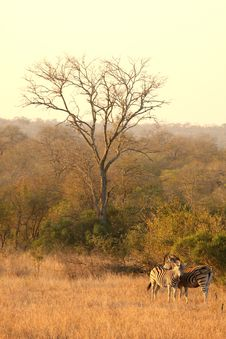 Free Zebra In Sabi Sands Royalty Free Stock Photos - 5569848