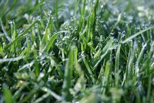 Free Morning Dew. Royalty Free Stock Photo - 5569895