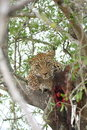Free Leopard In A Tree With Kill Royalty Free Stock Image - 5570186