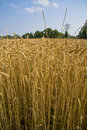 Free Golden Field Of Wheat Stock Photography - 5573622