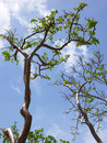 Free Trees With Clouds Royalty Free Stock Photography - 5578297