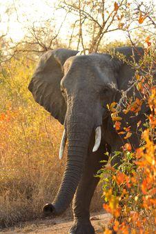 Free Elephant In Sabi Sands Stock Photo - 5570070