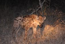 Free Hyena In Sabi Sands Stock Images - 5570144