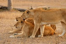 Free Lioness In Sabi Sands Stock Photos - 5570243