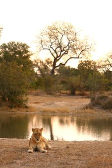 Free Lioness In Sabi Sands Stock Image - 5570251