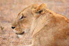 Free Lioness In Sabi Sands Stock Photography - 5570312