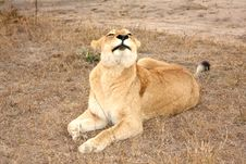 Free Lioness In Sabi Sands Stock Photos - 5570383
