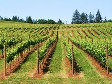 Free Vines In A Vineyard Royalty Free Stock Photos - 5570758