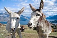 Free Two Donkeys Royalty Free Stock Photo - 5570965
