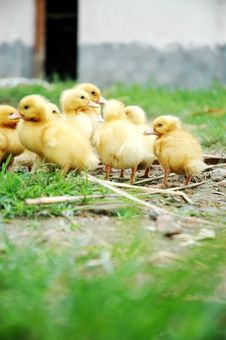 Free Yellow Small Ducks Royalty Free Stock Photos - 5571368