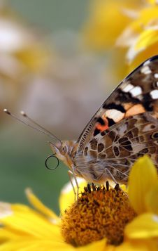 Free Butterflie Royalty Free Stock Photo - 5571885