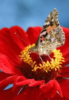 Free Butterfly Royalty Free Stock Images - 5571919