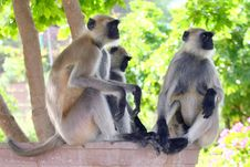 Free Three Monkeys Royalty Free Stock Photo - 5572055